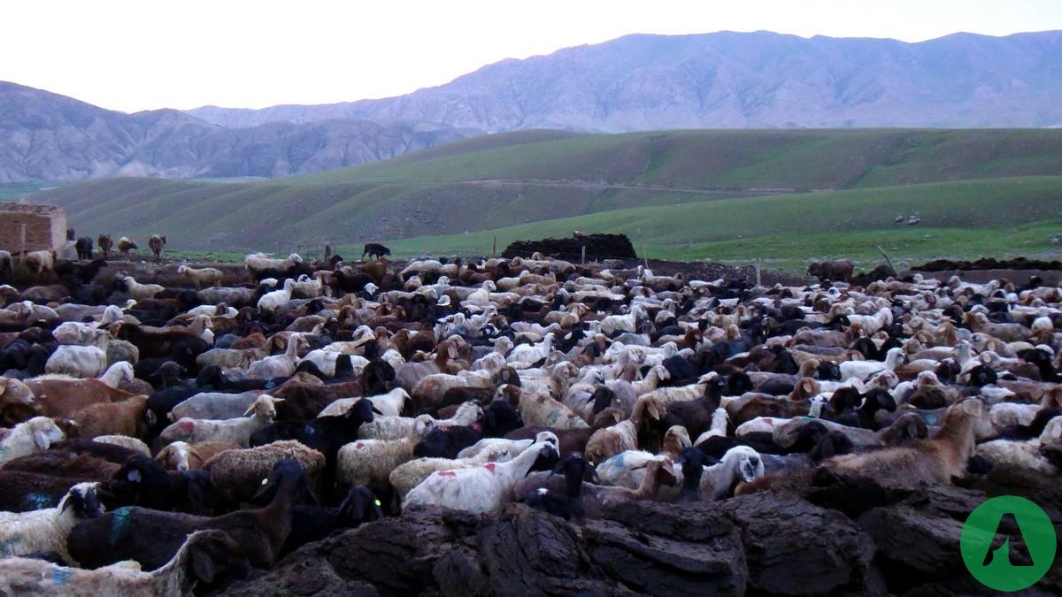 barany kirgistan