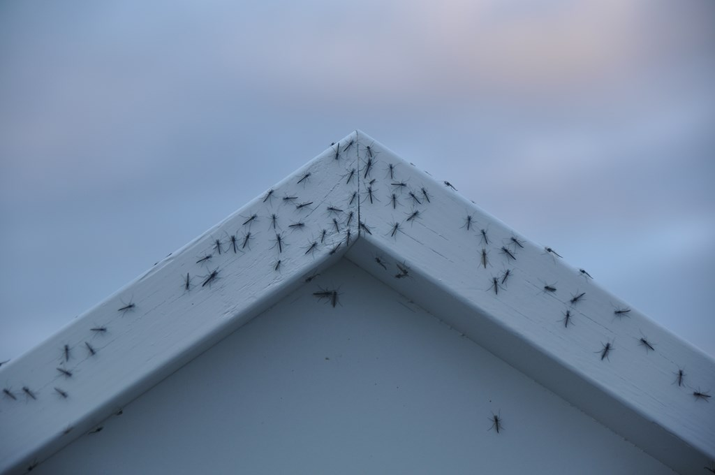 Myvatn dosłownie znaczy jezioro komarów. Gdzie się człowiek nie ruszy, od owadów oderwać się nie da. Miejscami w powietrzu unoszą się kilkumetrowe, czarne słupy - olbrzymie roje komarów.