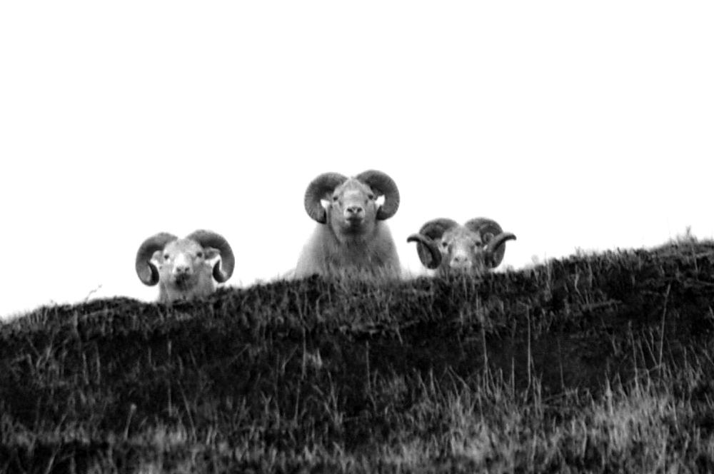 owce-islandia