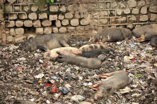 swinie-indie-ganges