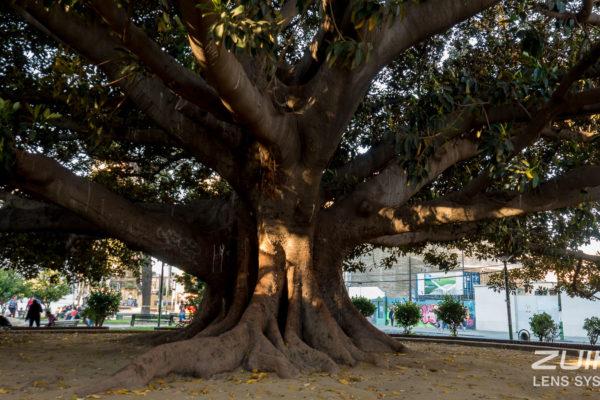 drzewo valparaiso